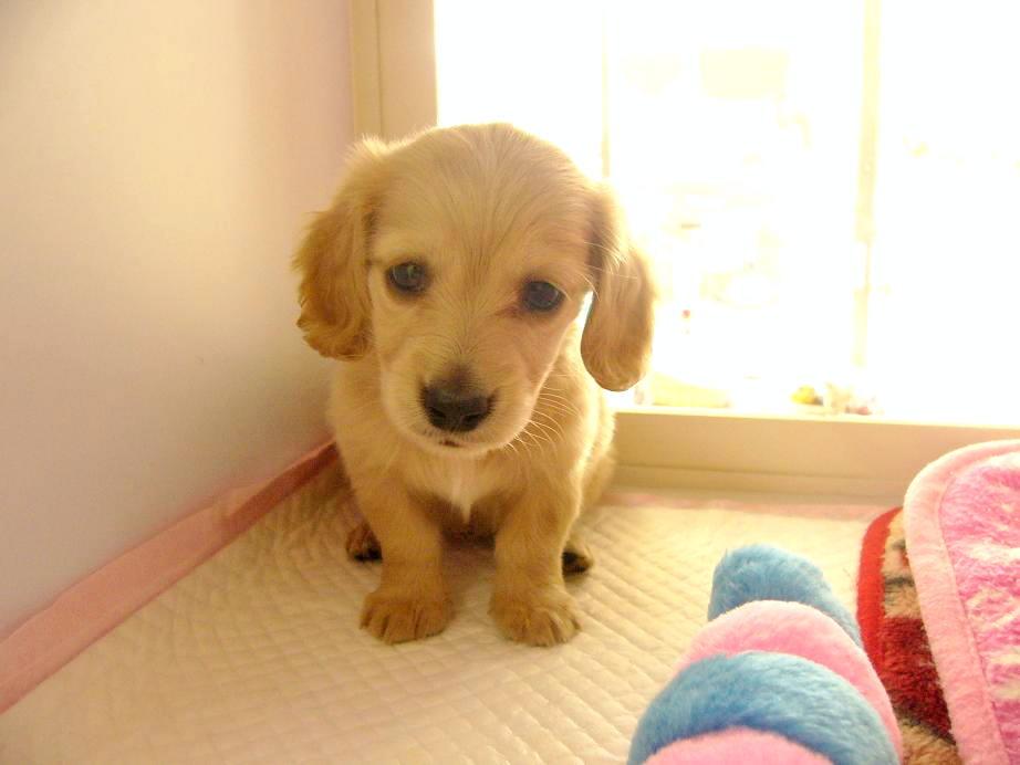 http://www.shiny-dachs.com/dogs/P1070846%20%E3%81%AE%E8%A3%9C%E6%AD%A3.JPG